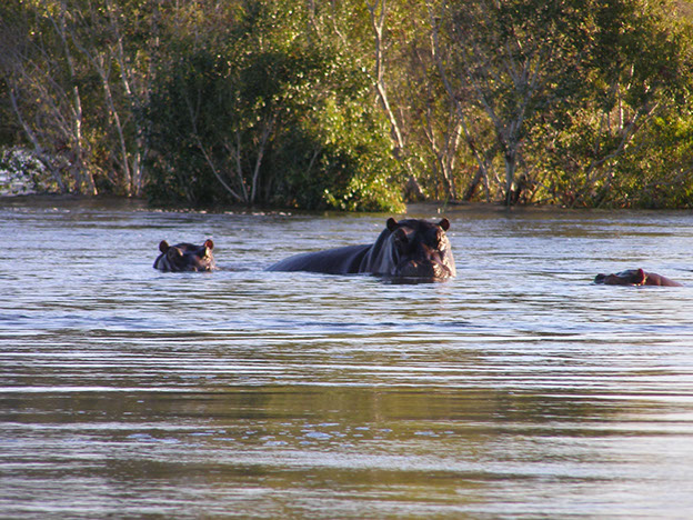 Hippo wading in the Zambezi, southern Africa